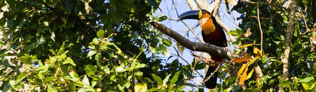 Toucan d'Amérique Tropicale